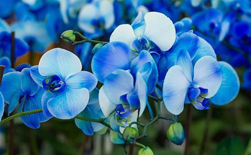 Синие цветі орхидеи