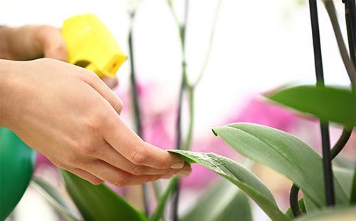 Уход за листьями орхидеи