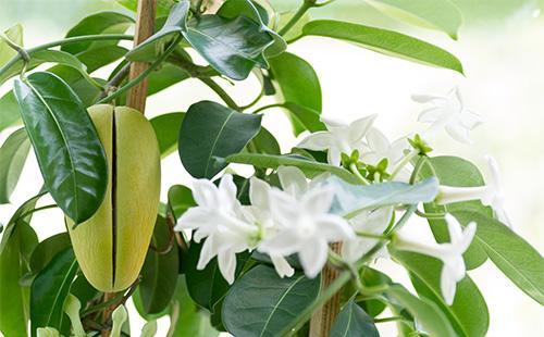 Цветы и плоды стефанотиса