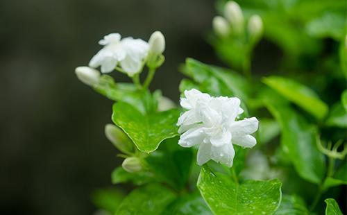 Цветок стефанотиса