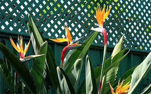 Цветы стрелиции