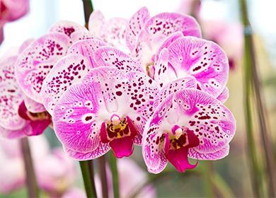 Большие цветы орхидеи