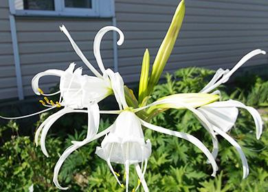 Цветы гименокаллиса