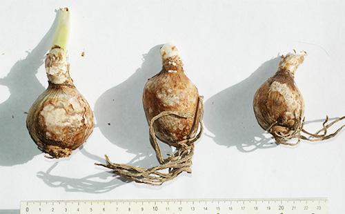 Луковицы гименокаллиса