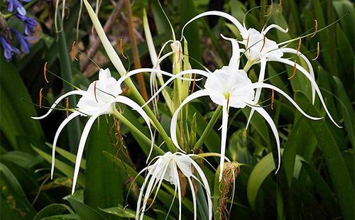 Красивые цветы гименокаллиса