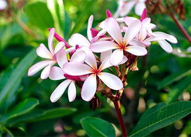 Цветы комнатного растения плюмерии