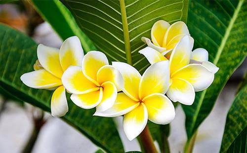 Желтые цветы плюмерии