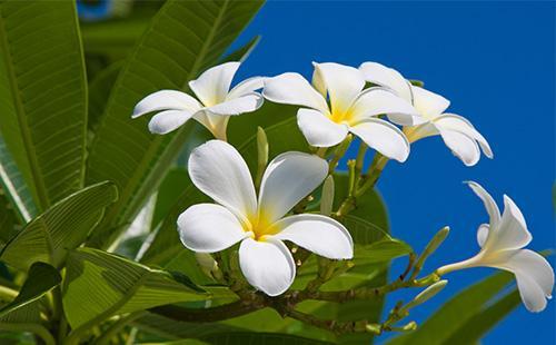 Белое соцветие плюмерии