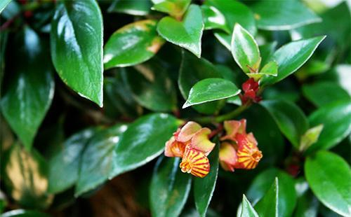 Листья и цветы нематантуса