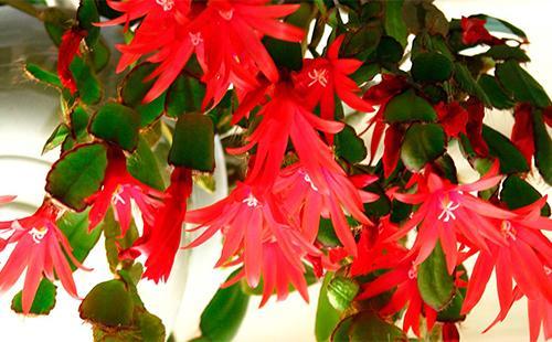 Красные цветы рипсалидопсуса