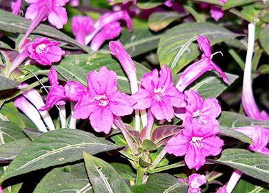 Цветы руэлии