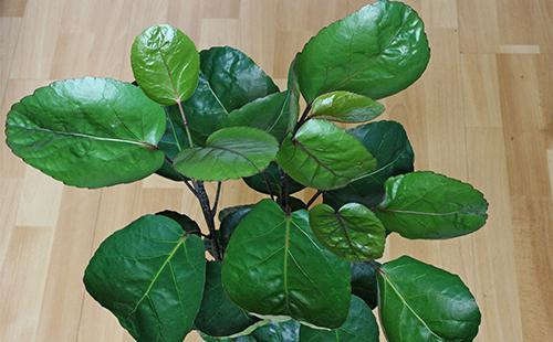 Листья полисциаса
